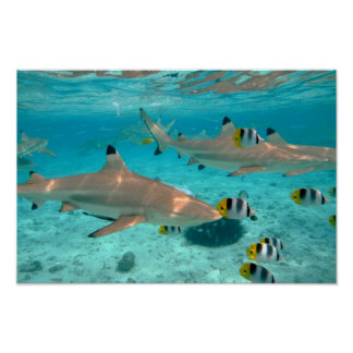 Sharks in the Bora Bora lagoon poster