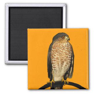 Sharp-Shinned Hawk Magnet