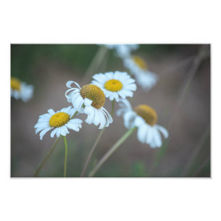 Shasta Daisies in the Field Photo Print