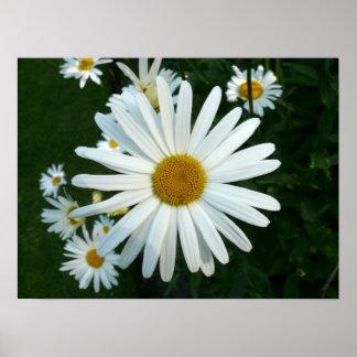 Shasta Daisy Posters