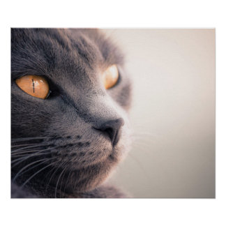 Sheba Cat Poster