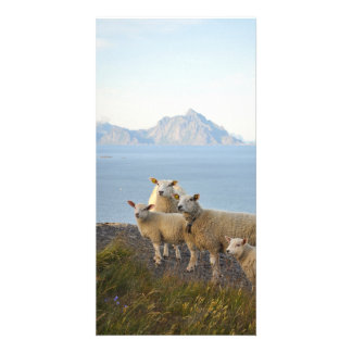 Sheep and lambs on mountain top in Lofoten, Norway Card