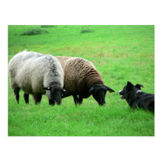 Sheep And Sheep Dog Postcard
