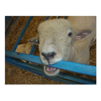 Sheep Chewing Gate Postcards