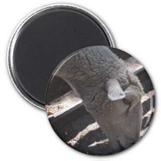 sheep eating popcorn magnet