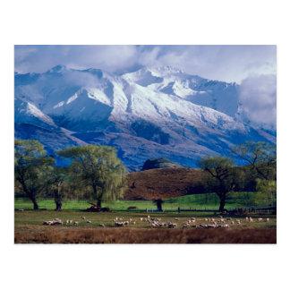 Sheep grazing below the snow-capped Harris Postcard