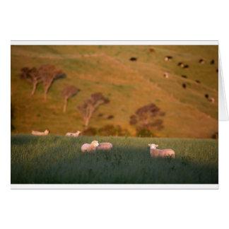 Sheep grazing lush green pasture New Zealand Card