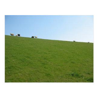 Sheep in Holland Photo Card Postcard