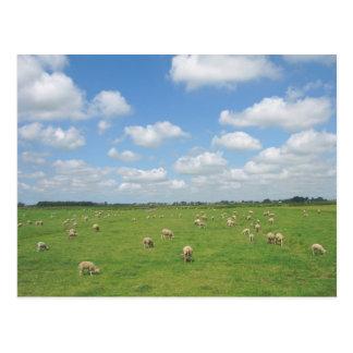 Sheep in Meadow Postcard