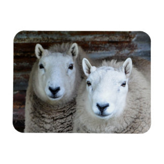 Sheep in Pairs! Magnet