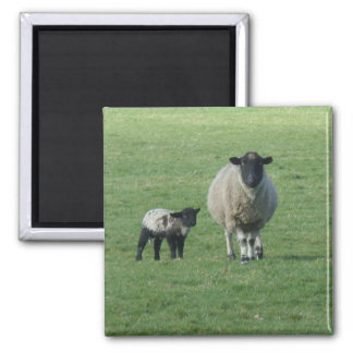 Sheep in the field magnets