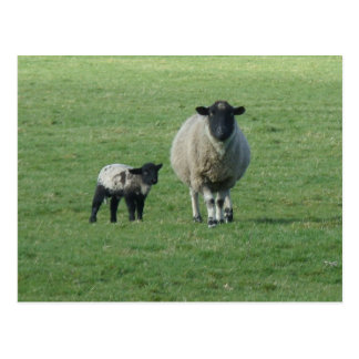 Sheep in the field postcards