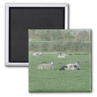 Sheep in the field square magnet