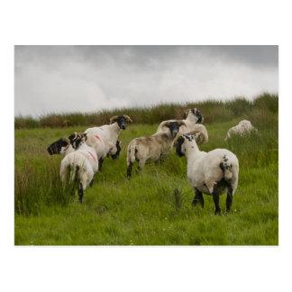 sheep jpg post card