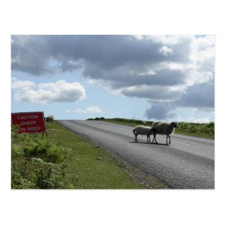 Sheep on road postcard