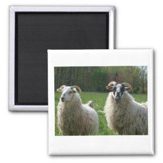 Sheep on the pasture magnets