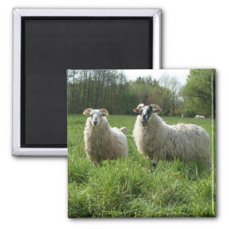 Sheep on the pasture fridge magnet