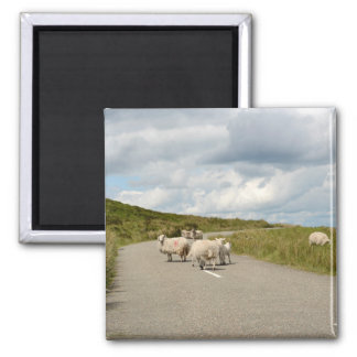 Sheep on the road in Ireland magnet