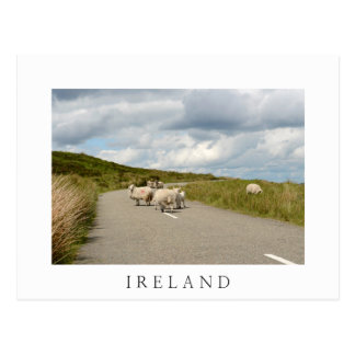 Sheep on the road in Ireland white postcard