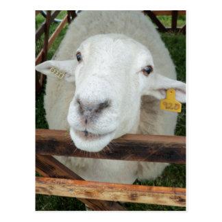 Sheep Portrait Postcard