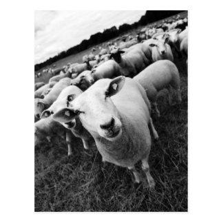 Sheep Postcards
