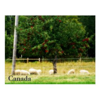 Sheep Postcard - Canada