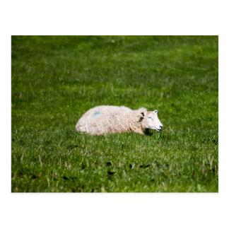 Sheep resting grass postcard
