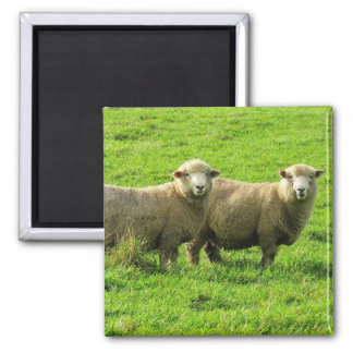 sheep stares square magnet