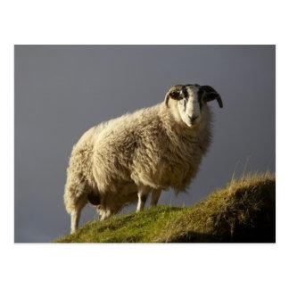 Sheep, Trotternish Peninsula, Isle of Skye, Postcard