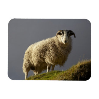 Sheep, Trotternish Peninsula, Isle of Skye, Rectangular Photo Magnet