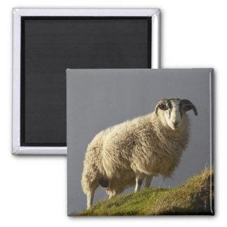 Sheep, Trotternish Peninsula, Isle of Skye, Square Magnet