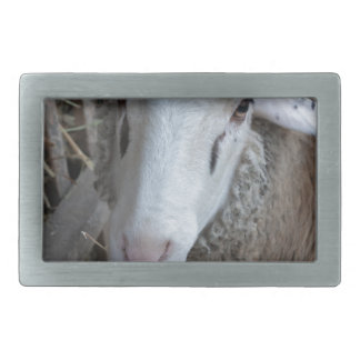 Sheep with hay belt buckle