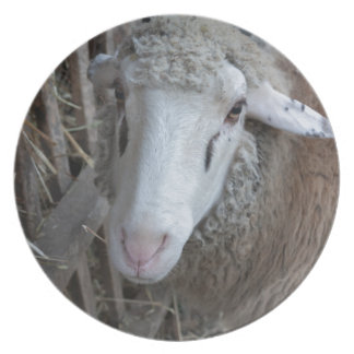Sheep with hay plate