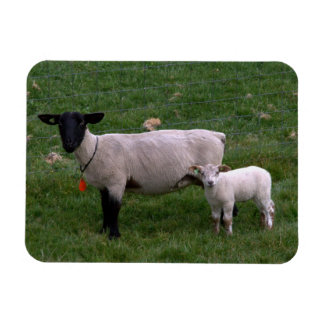 Sheep with lamb vinyl magnets