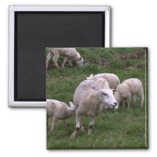 Sheep with lambs magnet