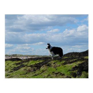 Sheepdog Ready on Rocks Postcard