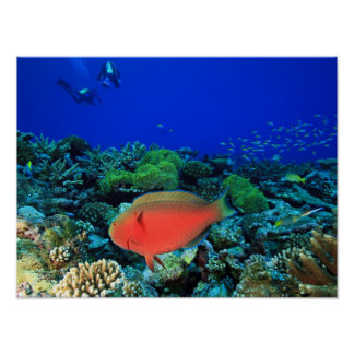 Sheephead Parrotfish Scarus Poster