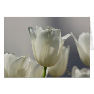 Sheer White Spring Tulips Lee Hiller Photography Card