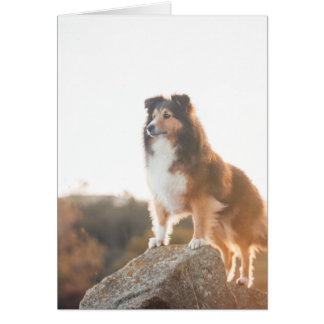 Sheltie on Cliff protecting heard during sunset Card
