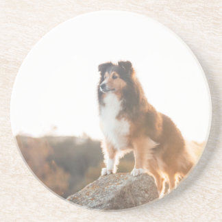 Sheltie on Cliff protectng heard during sunset Coaster