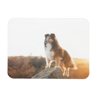 Sheltie on Cliff protectng heard during sunset Magnet