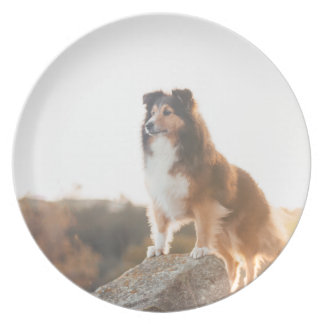 Sheltie on Cliff protectng heard during sunset Plate