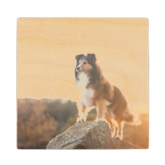 Sheltie on Cliff protectng heard during sunset Wood Coaster