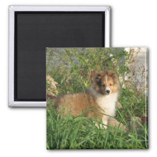 Sheltie puppy standing in grass and flowers magnet