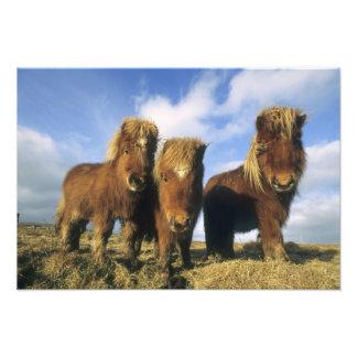 Shetland Pony, mainland Shetland Islands, Photographic Print