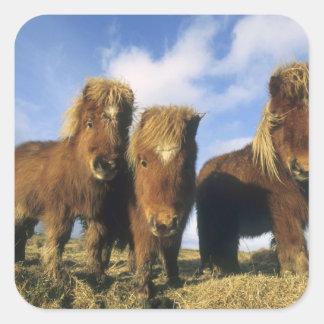 Shetland Pony, mainland Shetland Islands, Square Sticker