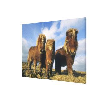 Shetland Pony, mainland Shetland Islands, Stretched Canvas Prints