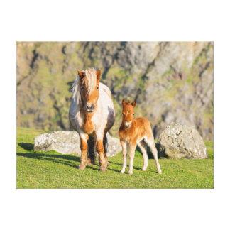 Shetland Pony On Pasture Near High Cliffs, Mare 2 Canvas Print