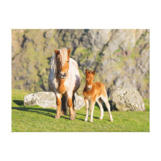 Shetland Pony On Pasture Near High Cliffs, Mare 2 Canvas Prints