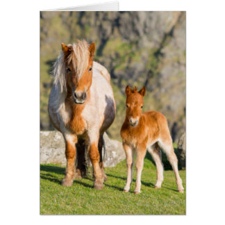 Shetland Pony On Pasture Near High Cliffs, Mare 2 Card